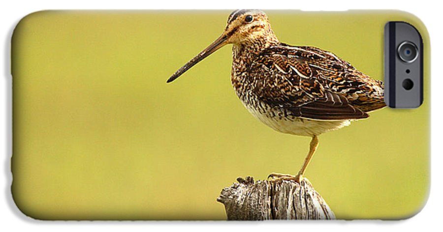 Snipe IPhone 6 Case featuring the photograph Wilson's Snipe On Morning Perch by Max Allen