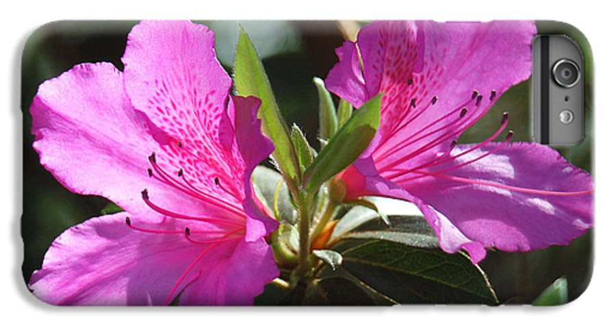 Azalea IPhone 6 Plus Case featuring the photograph In Full Bloom by Suzanne Gaff