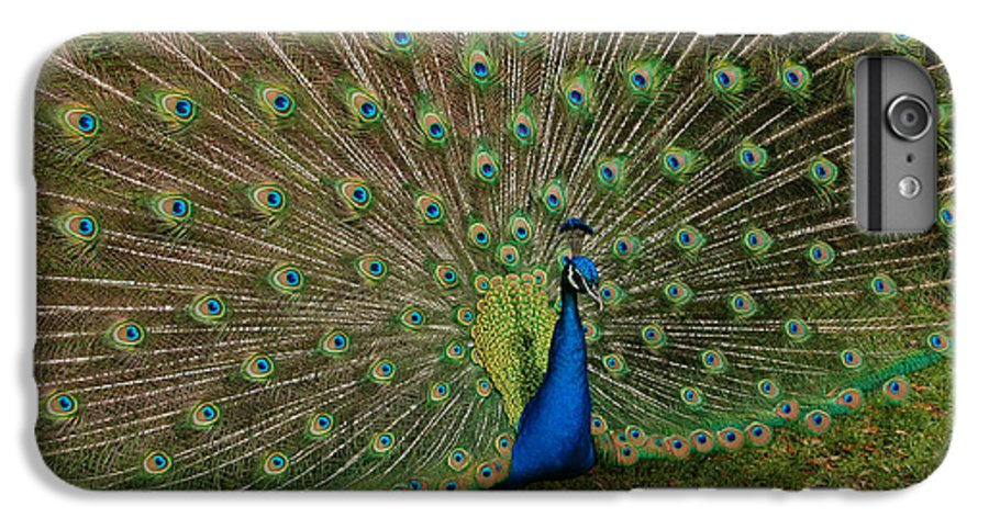 Peacock IPhone 6 Plus Case featuring the photograph Its All About Him by Suzanne Gaff