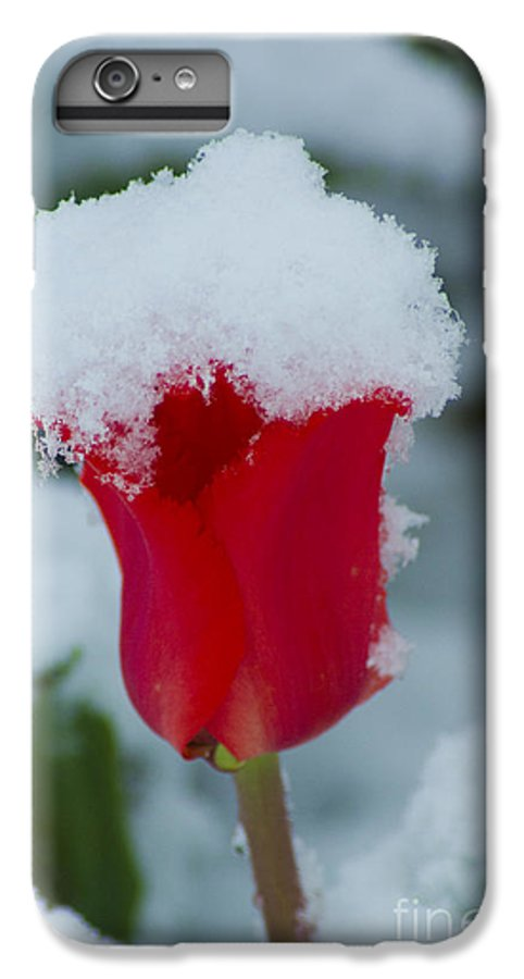 Tulip IPhone 6 Plus Case featuring the photograph Snowy Red Riding Hood by Louise Magno