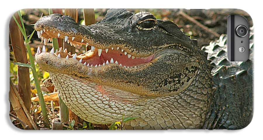Alligator IPhone 6 Plus Case featuring the photograph Alligator Showing Its Teeth by Max Allen
