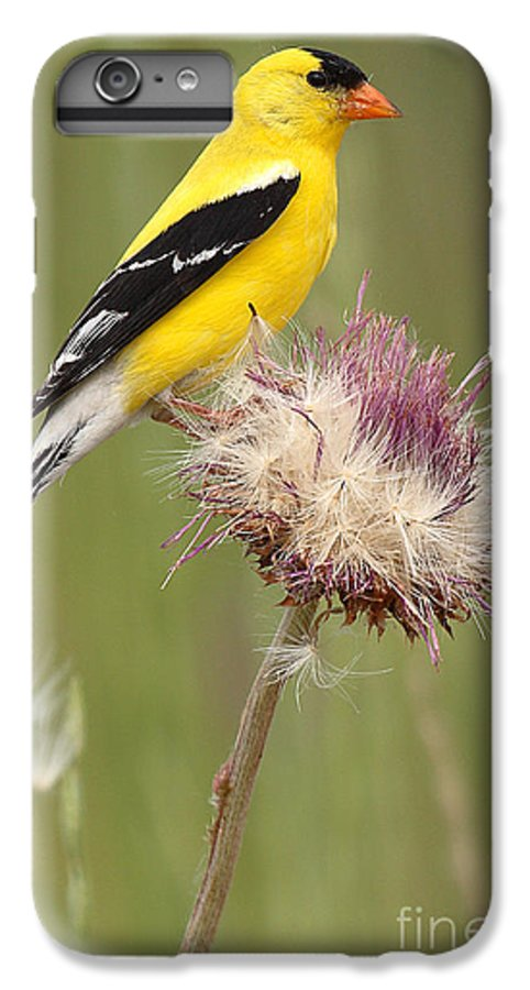 Goldfinch IPhone 6 Plus Case featuring the photograph American Goldfinch On Summer Thistle by Max Allen