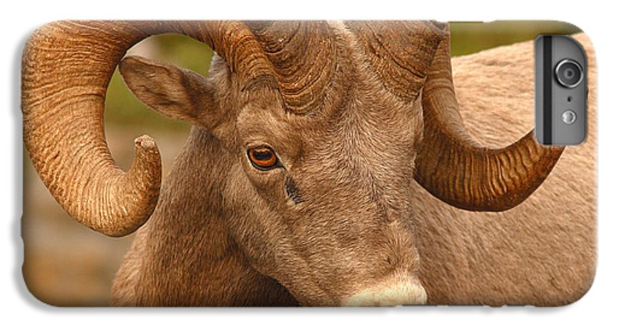 Bighorn IPhone 6 Plus Case featuring the photograph Bighorn Ram With Evident Disdain by Max Allen
