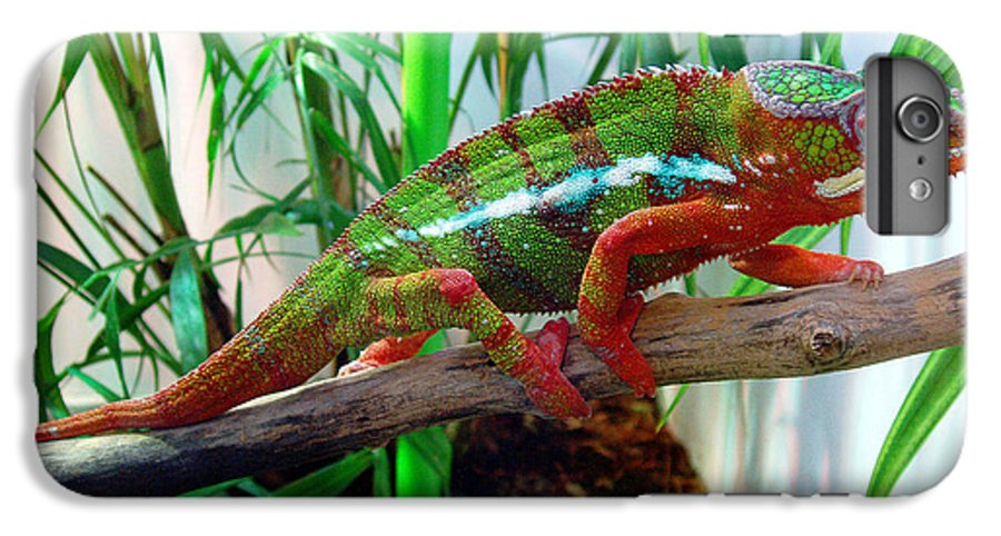 Chameleon IPhone 6 Plus Case featuring the photograph Colorful Chameleon by Nancy Mueller