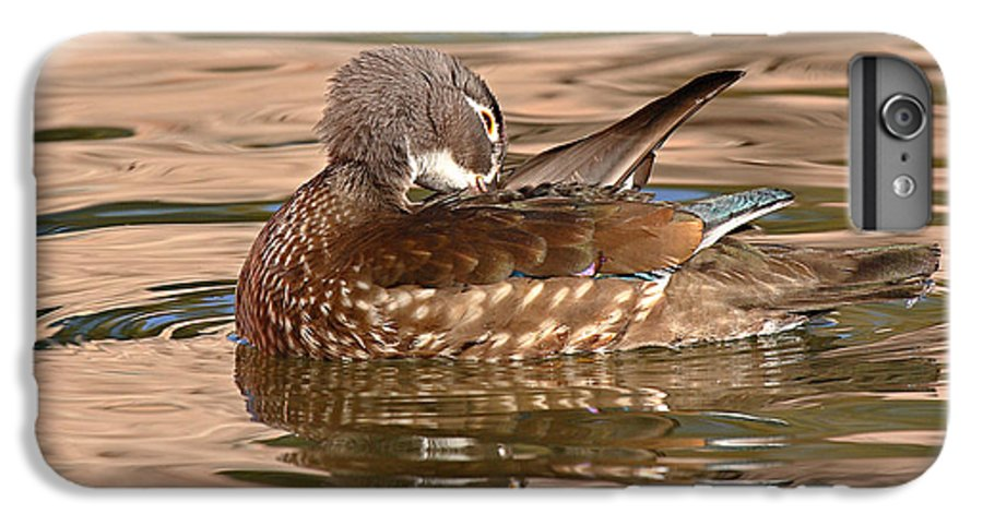 Wood Duck IPhone 6 Plus Case featuring the photograph Female Wood Duck Preening On The Water by Max Allen