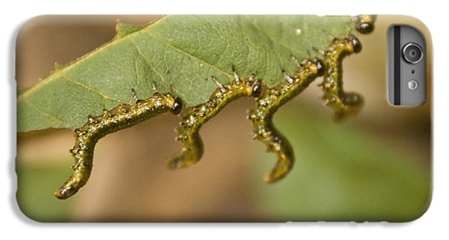 Larvae IPhone 6 Plus Case featuring the photograph Hanging There by Douglas Barnett