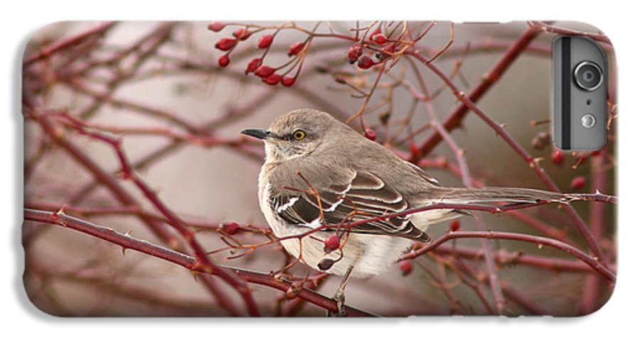 Mockingbird IPhone 6 Plus Case featuring the photograph Mockingbird In Winter Rose Bush by Max Allen