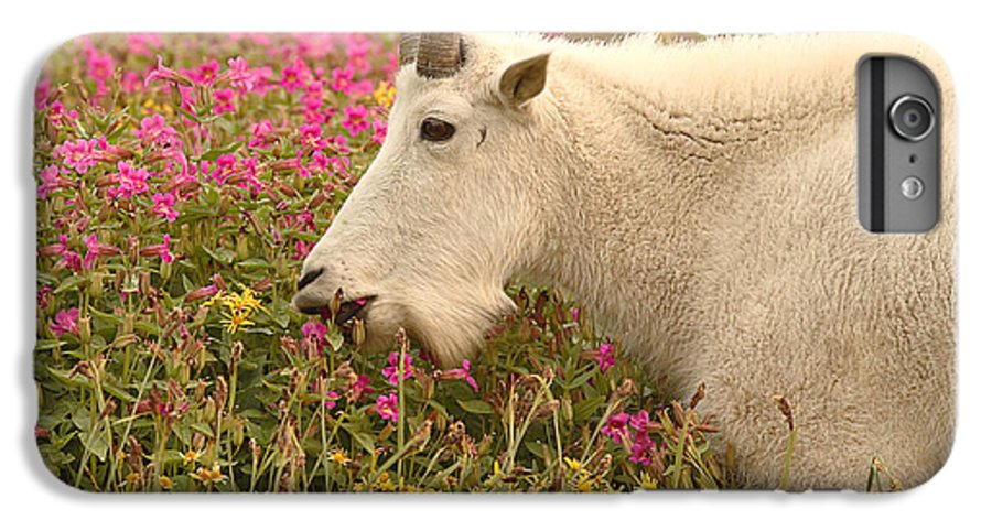 Mountain Goat IPhone 6 Plus Case featuring the photograph Mountain Goat In Colorful Field Of Flowers by Max Allen