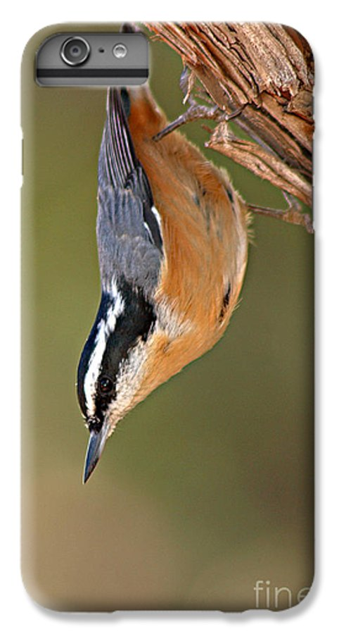 Nuthatch IPhone 6 Plus Case featuring the photograph Red-breasted Nuthatch Upside Down by Max Allen
