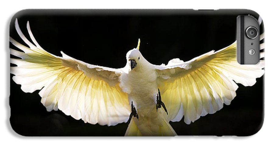 Sulphur Crested Cockatoo Australian Wildlife IPhone 6 Plus Case featuring the photograph Sulphur Crested Cockatoo In Flight by Avalon Fine Art Photography