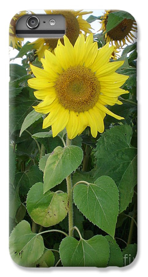 Sunflower's IPhone 6 Plus Case featuring the photograph Sunflower Amungst Sunflower's by Chandelle Hazen