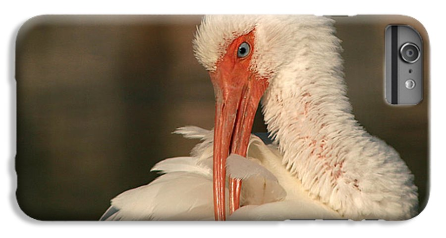 Ibis IPhone 6 Plus Case featuring the photograph White Ibis Placid Preening by Max Allen