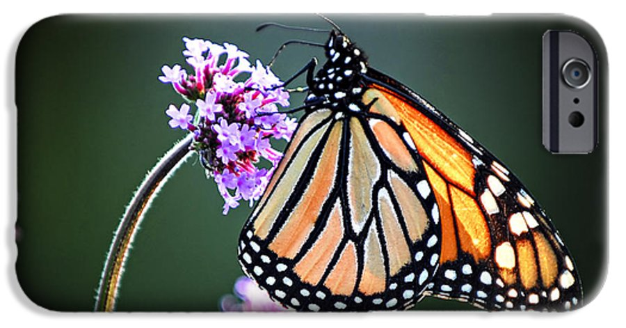 Butterfly IPhone 6s Case featuring the photograph Monarch Butterfly by Elena Elisseeva