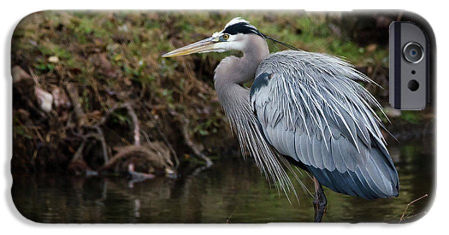 Hero IPhone 6s Case featuring the photograph Great Blue Heron On The Watch by George Randy Bass