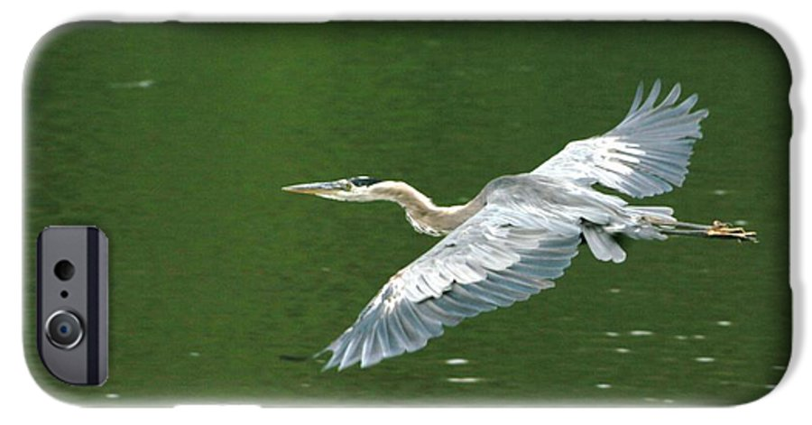 Landscape Nature Wildlife Bird Crane Heron Green Flight Ohio Water IPhone 6s Case featuring the photograph Young Great Blue Heron Taking Flight by Dawn Downour
