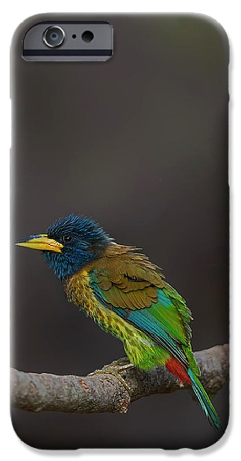 Bird Images For Print IPhone 6s Case featuring the photograph Great Barbet by Uma Ganesh