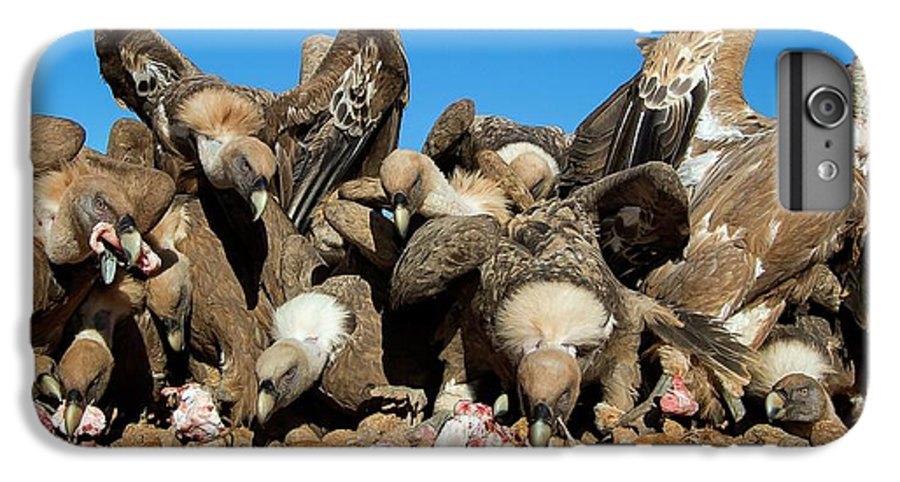 Griffon Vulture IPhone 6s Plus Case featuring the photograph Griffon Vultures Feeding by Nicolas Reusens