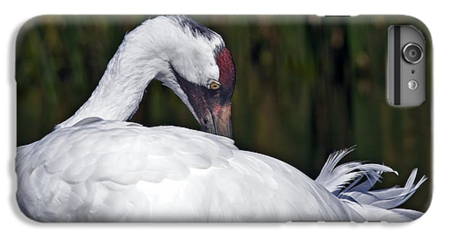 Avian IPhone 6s Plus Case featuring the photograph A Preening Whooping Crane by Al Mueller