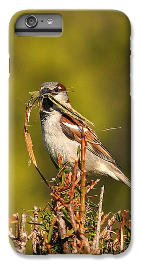 Sparrow IPhone 6s Plus Case featuring the photograph English Sparrow Bringing Material To Build Nest by Max Allen
