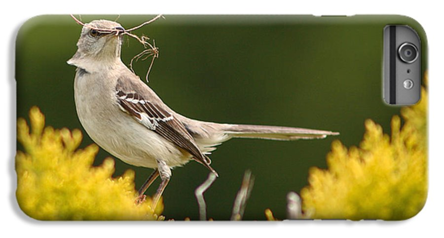 Mockingbird IPhone 6s Plus Case featuring the photograph Mockingbird Perched With Nesting Material by Max Allen