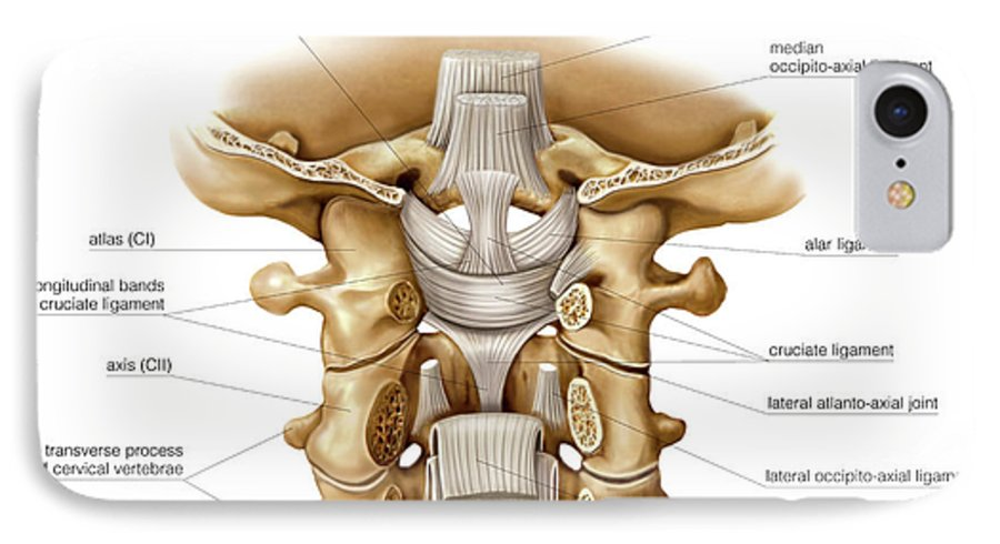 3 head and neck joints asklepios medical atlas?&targetx=0&targety= 43&imagewidth=538&imageheight=403&modelwidth=538&modelheight=317&backgroundcolor=CEB896&orientation=1 head and neck joints iphone 7 case for sale by asklepios medical atlas