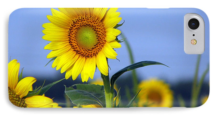 Sunflower IPhone 7 Case featuring the photograph Getting To The Sun by Amanda Barcon
