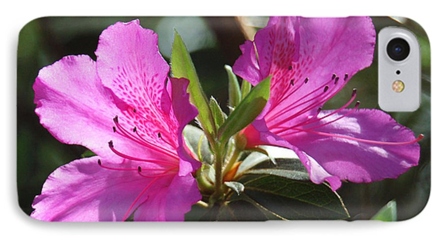 Azalea IPhone 7 Case featuring the photograph In Full Bloom by Suzanne Gaff