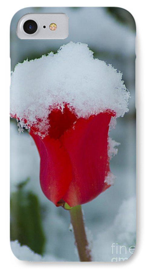 Tulip IPhone 7 Case featuring the photograph Snowy Red Riding Hood by Louise Magno