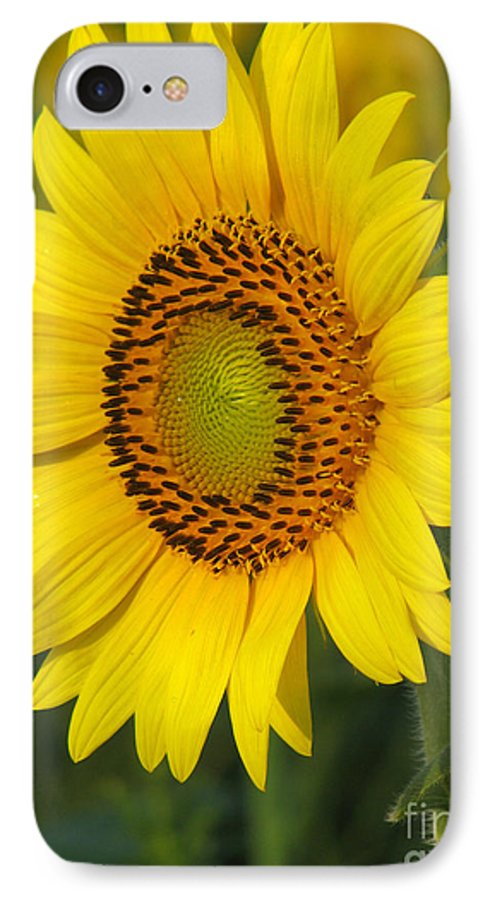 Sunflowers IPhone 7 Case featuring the photograph Sunflower by Amanda Barcon