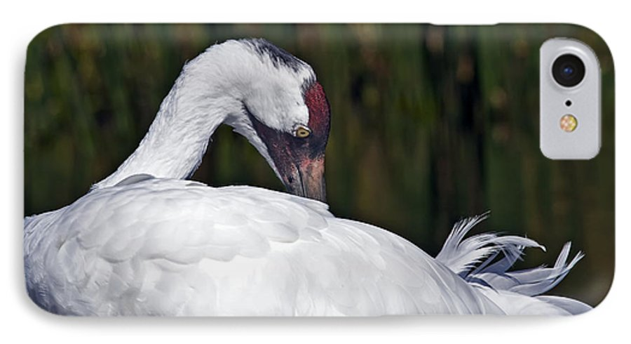 Avian IPhone 7 Case featuring the photograph A Preening Whooping Crane by Al Mueller