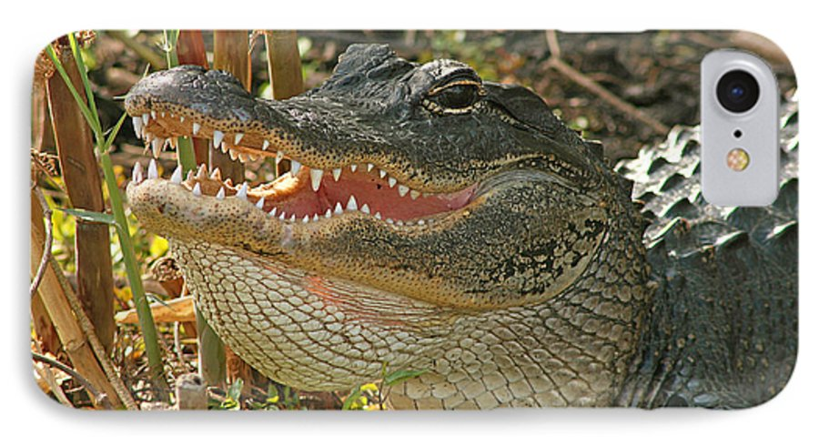 Alligator IPhone 7 Case featuring the photograph Alligator Showing Its Teeth by Max Allen