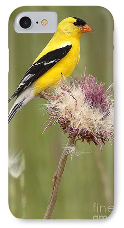 Goldfinch IPhone 7 Case featuring the photograph American Goldfinch On Summer Thistle by Max Allen