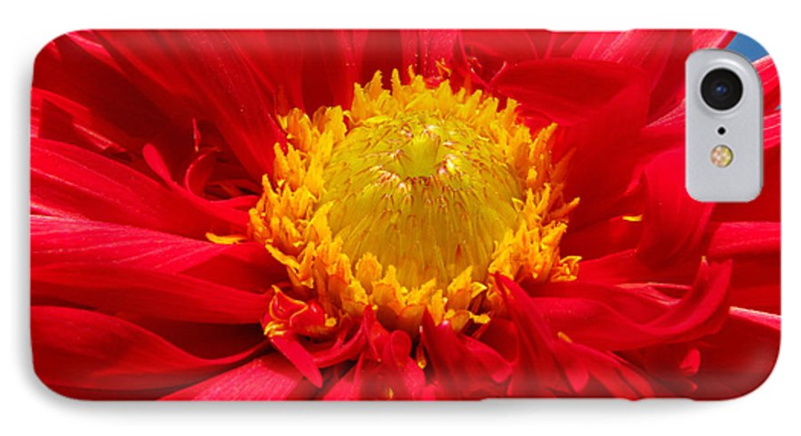 Dhalia IPhone 7 Case featuring the photograph Dhalia by Amanda Barcon