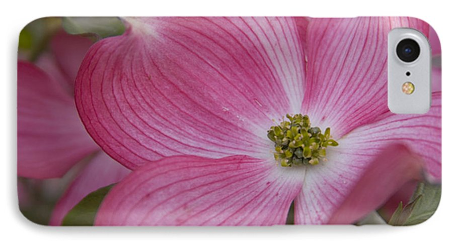 Dogwood IPhone 7 Case featuring the photograph Dogwood Bloom by Idaho Scenic Images Linda Lantzy