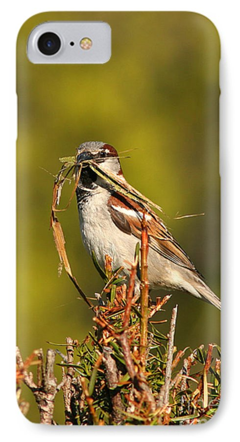Sparrow IPhone 7 Case featuring the photograph English Sparrow Bringing Material To Build Nest by Max Allen