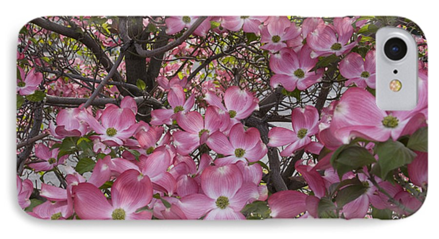 Dogwood IPhone 7 Case featuring the photograph Full Bloom by Idaho Scenic Images Linda Lantzy