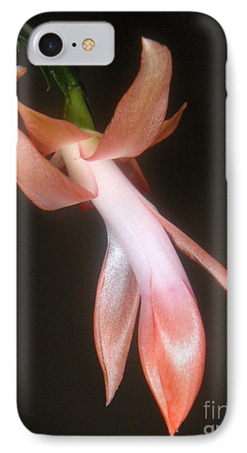 Nature IPhone 7 Case featuring the photograph Holiday Cactus - In Night Light by Lucyna A M Green