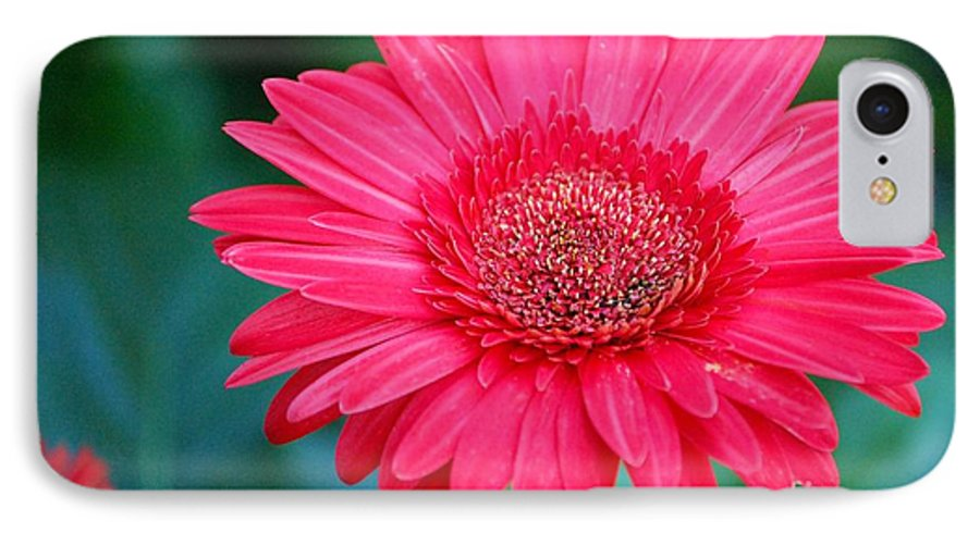 Gerber Daisy IPhone 7 Case featuring the photograph In The Pink by Debbi Granruth