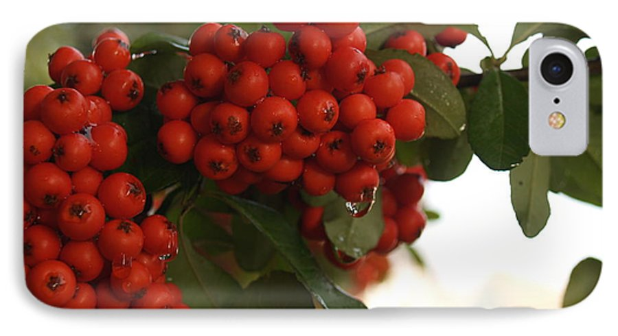 Pyracantha IPhone 7 Case featuring the photograph Pyracantha Berries In December by Anna Lisa Yoder