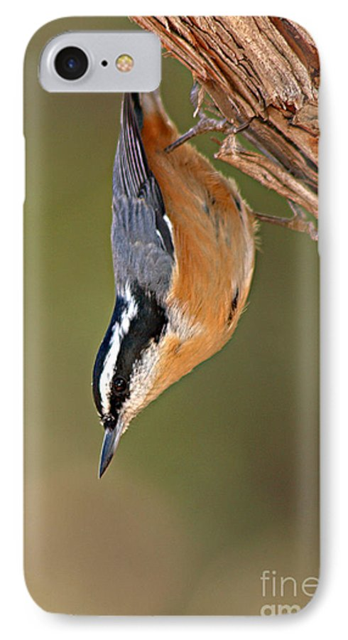 Nuthatch IPhone 7 Case featuring the photograph Red-breasted Nuthatch Upside Down by Max Allen