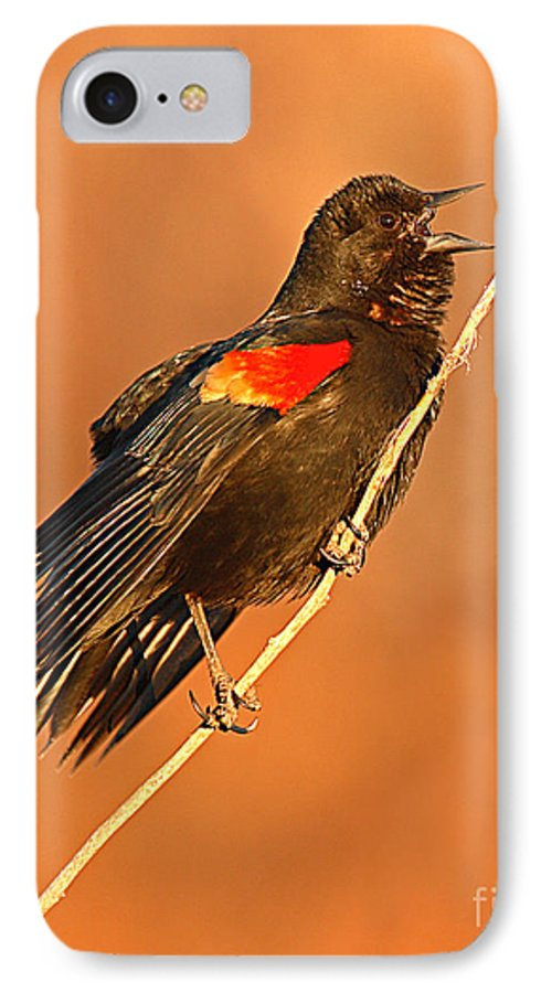 Blackbird IPhone 7 Case featuring the photograph Red-winged Blackbird Belting Out Spring Song by Max Allen