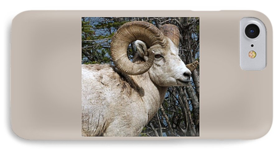 Wildlife IPhone 7 Case featuring the photograph Rocky Mountain Ram by Tiffany Vest