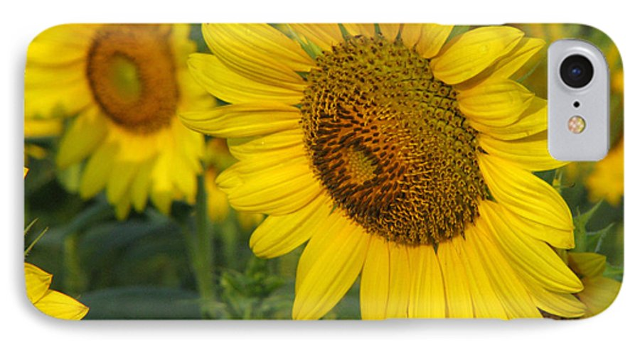 Sunflowers IPhone 7 Case featuring the photograph Sunflower Series by Amanda Barcon