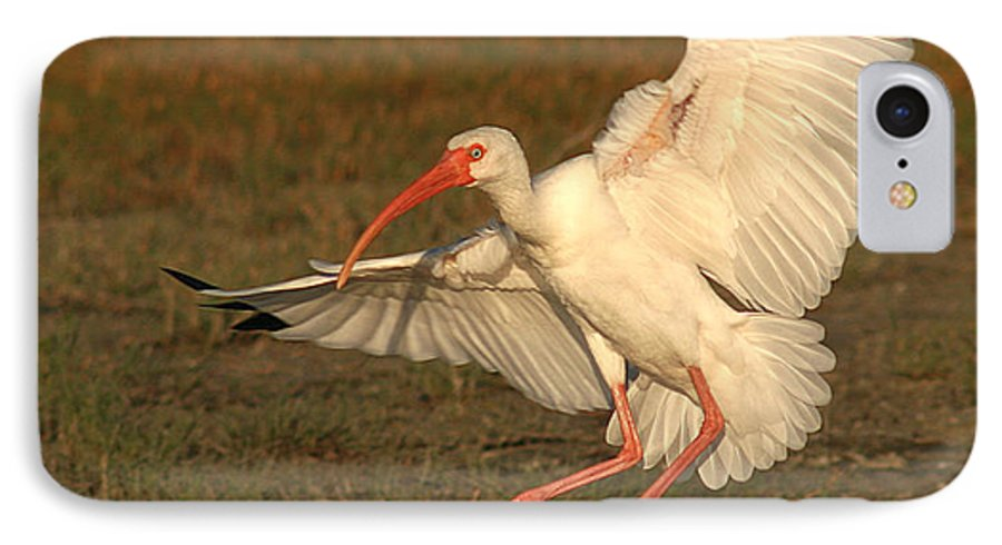 Ibis IPhone 7 Case featuring the photograph White Ibis Landing Upon Ground by Max Allen