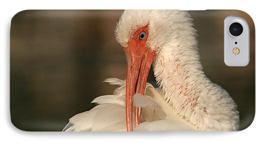Ibis IPhone 7 Case featuring the photograph White Ibis Placid Preening by Max Allen