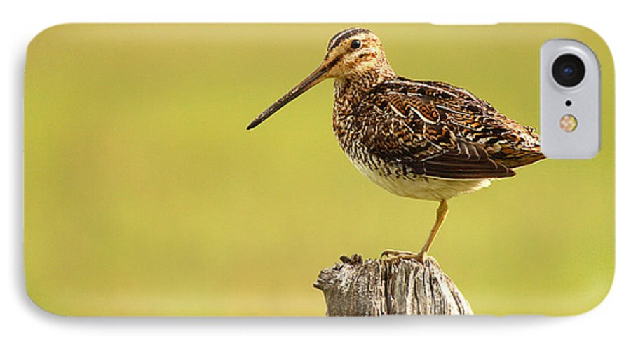 Snipe IPhone 7 Case featuring the photograph Wilson's Snipe On Morning Perch by Max Allen