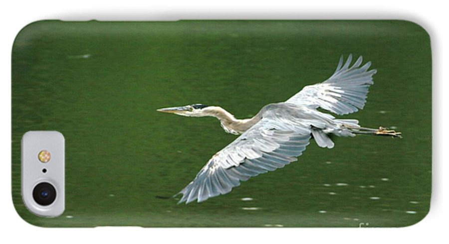Landscape Nature Wildlife Bird Crane Heron Green Flight Ohio Water IPhone 7 Case featuring the photograph Young Great Blue Heron Taking Flight by Dawn Downour