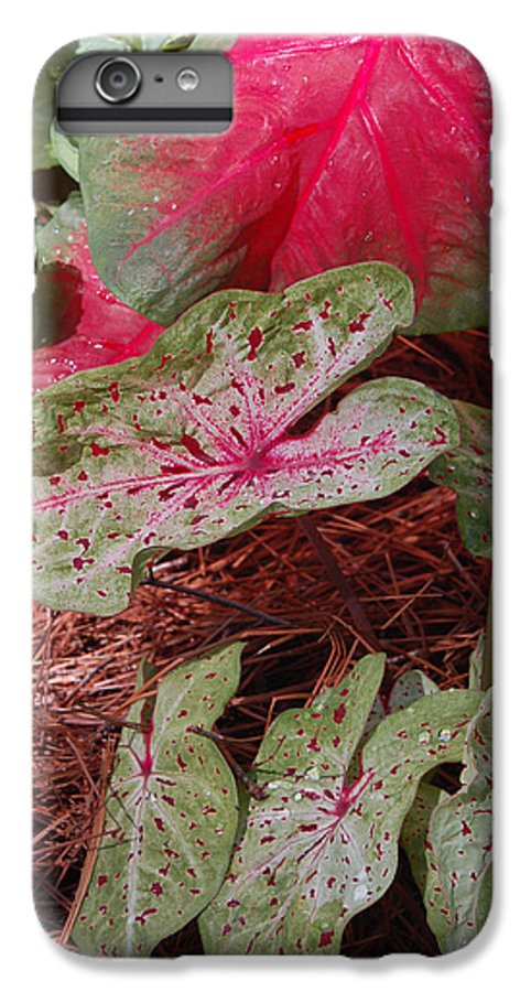 Caladium IPhone 7 Plus Case featuring the photograph Courtyard Caladium by Suzanne Gaff