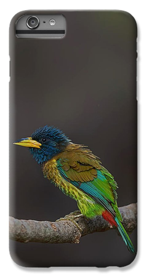 Bird Images For Print IPhone 7 Plus Case featuring the photograph Great Barbet by Uma Ganesh