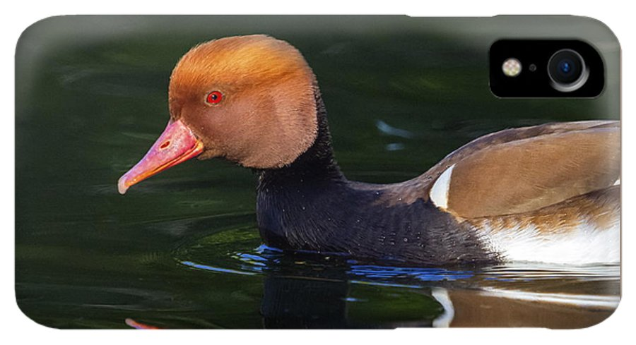 Red-crested IPhone XR Case featuring the photograph Red-crested Pochard, Netta Rufina, Duck by Elenarts - Elena Duvernay photo